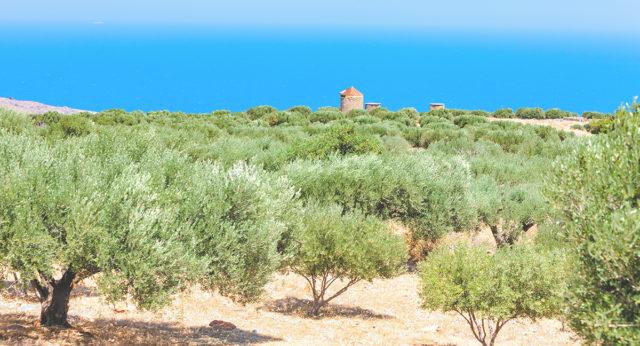 ギリシャ クレタ島のオリーブオイル畑の写真
